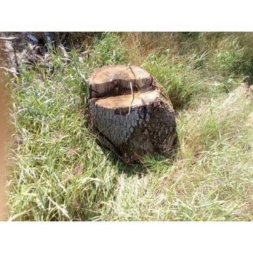 Pinek Dębowy 50cm / 70 cm