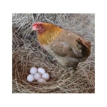 Kurczaki zielononóżki z 18,07,2021r. Ostatnie 9 s