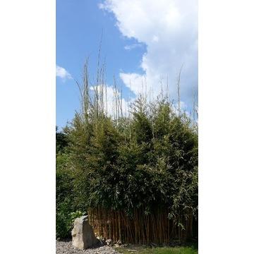 Bambus mrozoodporny Phyllostachys aureosulcata aur