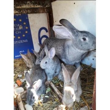 Tuszki królicze, królik, mięso, tuszka, młode