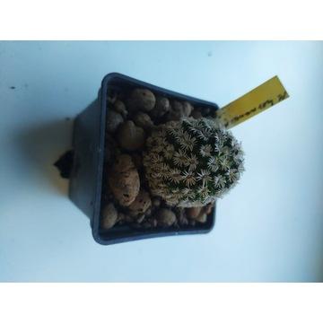 Kaktusy Mammillaria hernandezii