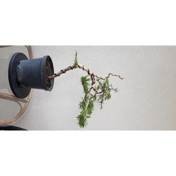 Jalowiec bonsai