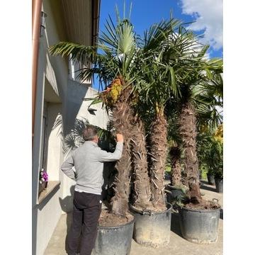 Palma Trachycarpus Fortunei podwójna