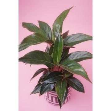 Aglaonema BLACK LIPSTICK roślina doniczkowa
