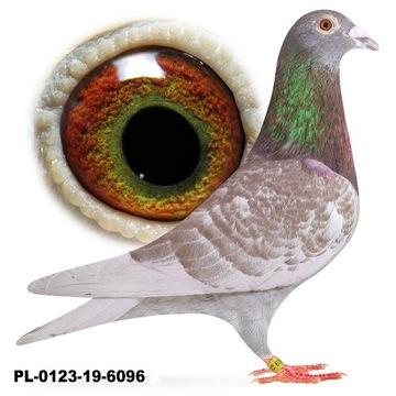 Samiec Czerwony 2019 Lotowy gołąb gołębie pocztowe
