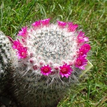 Kaktus Mammillaria sp. (film na YouTube) DUŻY