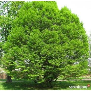 Grab sadzonka sadzonki grabu drzewo drzewa
