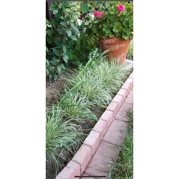 Trawa ozdobna Zielistek piekna roślinka ogrodowa
