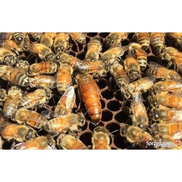 Matki pszczele BRUKFAST unasieniona
