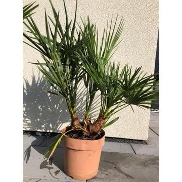Palma karlowata mrozoodporna 70 cm