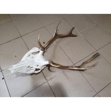 Trofeum jeleń byk ósmak nieregularny + żuchwa