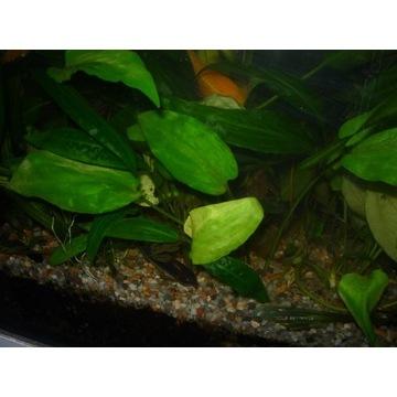 Crypocoryna Pontiderifolia około 12-14 cm