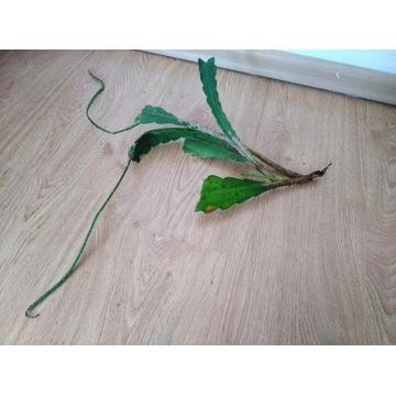 Epiphyllum sadzonka nieukorzeniona