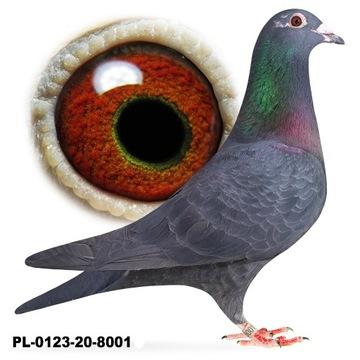 Samiec Czarny Lotowy gołąb gołębie pocztowe do roz