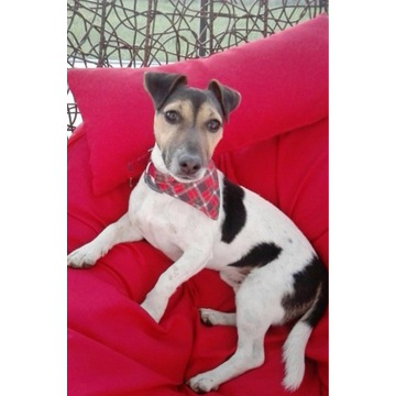 Jack russel terrier - reproduktor