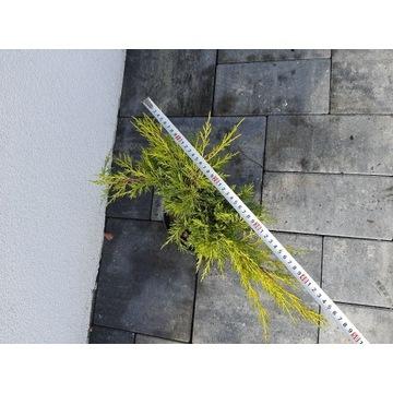 Jałowiec gold star 2 l doniczka c2 krzew tuja