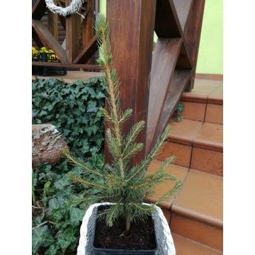 bluszcz na balkony do obsadzania konarów drzew