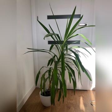 Roślina Juka