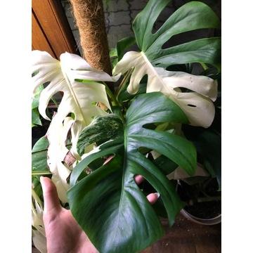 Monstera variegata Szczyt plus Philodendron