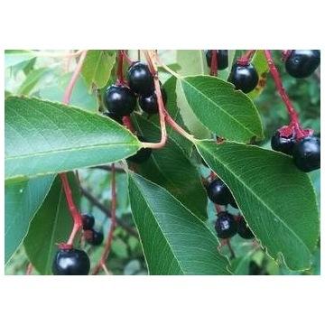 Sadzonki czeremcha, 10 szt. ładne rośliny 20-30cm