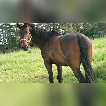 koń Bohun
