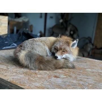 Preparat śpiącego lisa