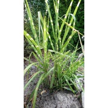 Trawa zebrinus kępa duża Okazja