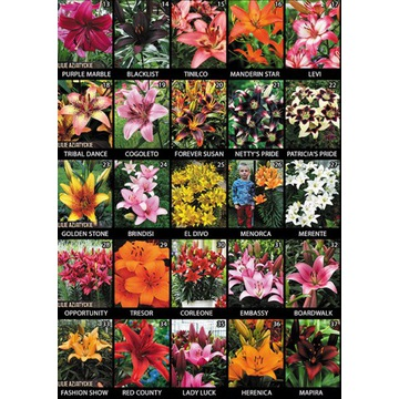 Cebulki Kwiatów, Lilie, Dalie, Piwonie, Liliowce,