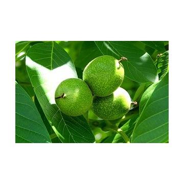 Orzechy włoskie zielone na nalewkę syrop