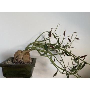 Monadenium Rubellum Caudex