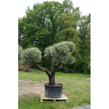 Drzewo oliwne Oliwka europejska