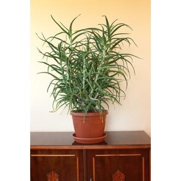 Aloes ogromny 99 cm wys. rozłożysty, gęsty, zdrowy