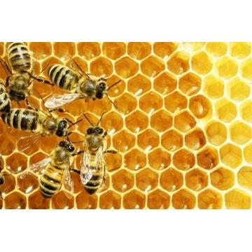 Pszczoły bez warrozy - apiwarol