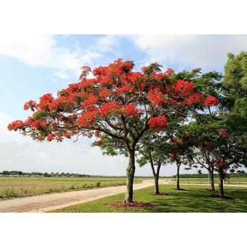 Płomień Afryki (Delonix Regia) sadzonka