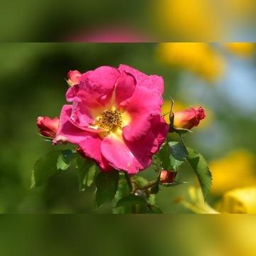Róża pnąca - Bajazzo
