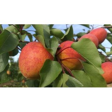Morela Harcot duży owoc  producent !!!