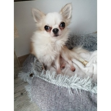 Chihuahua pies