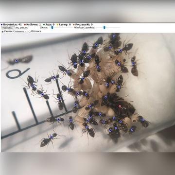 Mrówki Lasius niger >35robo., to co na zdjęciu