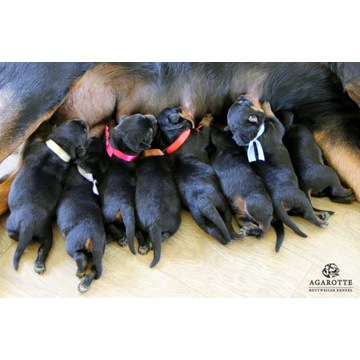 Szczenięta, szczeniaki Rottweiler Rodowód ZKwP FCI