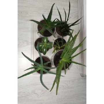 Aloes drzewiasty. vera.sansevieria wężowa.grubosz