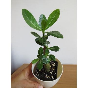Adenium arabskie mocno rozkrzewione + nawóz GRATIS