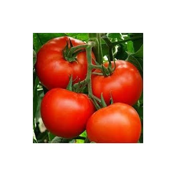 Pomidor MALINOWY WARSZAWSKI - sadzonki doniczkowe