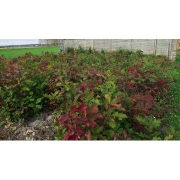 Dąb czerwony sadzonki 40-45cm komplet 50 sztuk