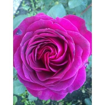 róża  różowa  80 cm Producent!!!!