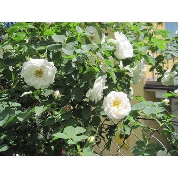 Róże- krzewy