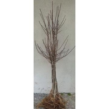 Drzewka owocowe, jabłonie, Gala Brockfield