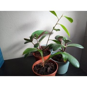 Zestaw crassula ovata, ficus retusa, zielistka