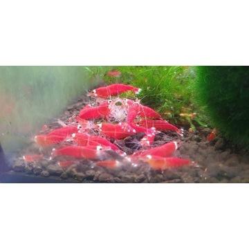 Krewetki Super crystal red extreme