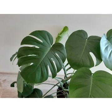 Roślina Monstera 2 letnia