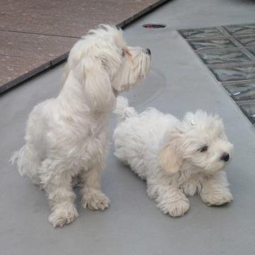 karma + pies rasy maltańczyk